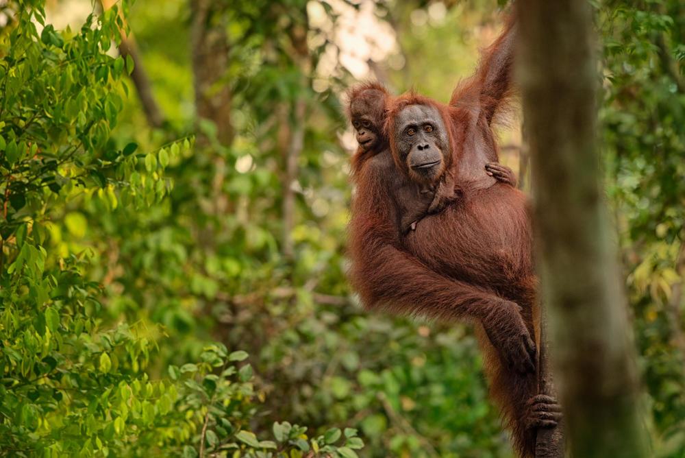 Coronavirus: una nueva amenaza para los orangutanes de Sumatra