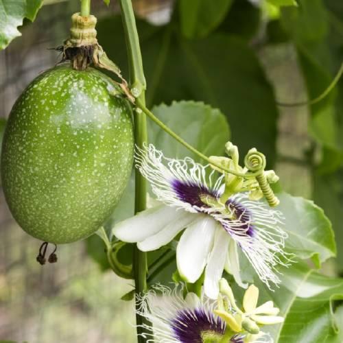 Pasiflora: ayuda a combatir el insomnio