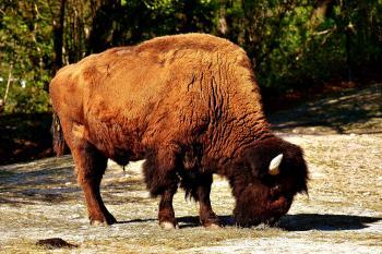 Reino unido busca personal para reintroducir bisontes en sus bosques