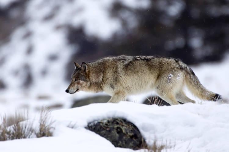 lobos nieve bosque