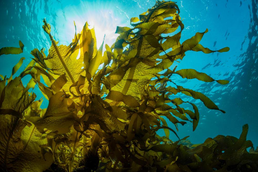 KELPCET: Arrecifes artificiales para recuperar bosques de macroalgas