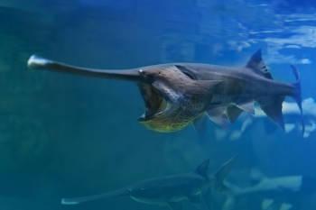 pez espátula chino