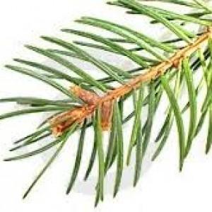 agujas de pino
