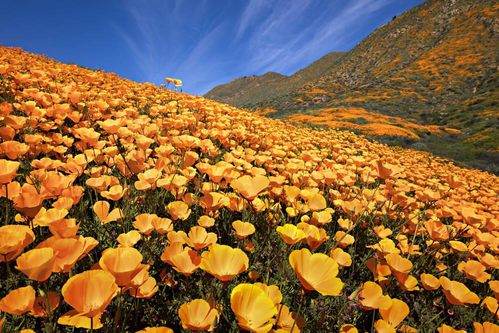 California tiene tantas flores que se ven en imágenes satelitales de la NASA