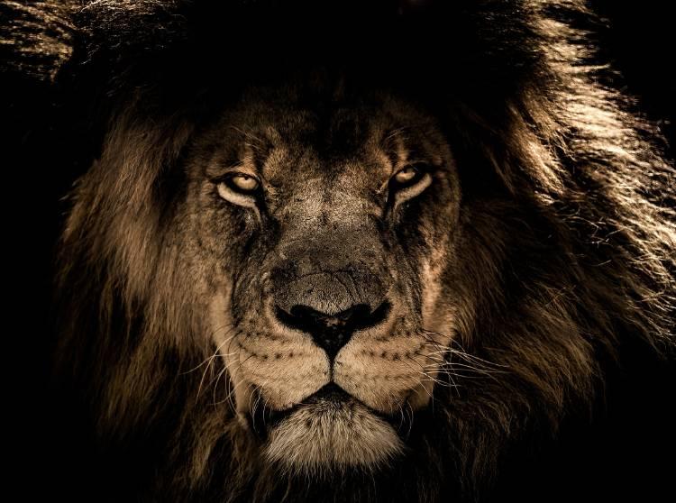 La cara de un león