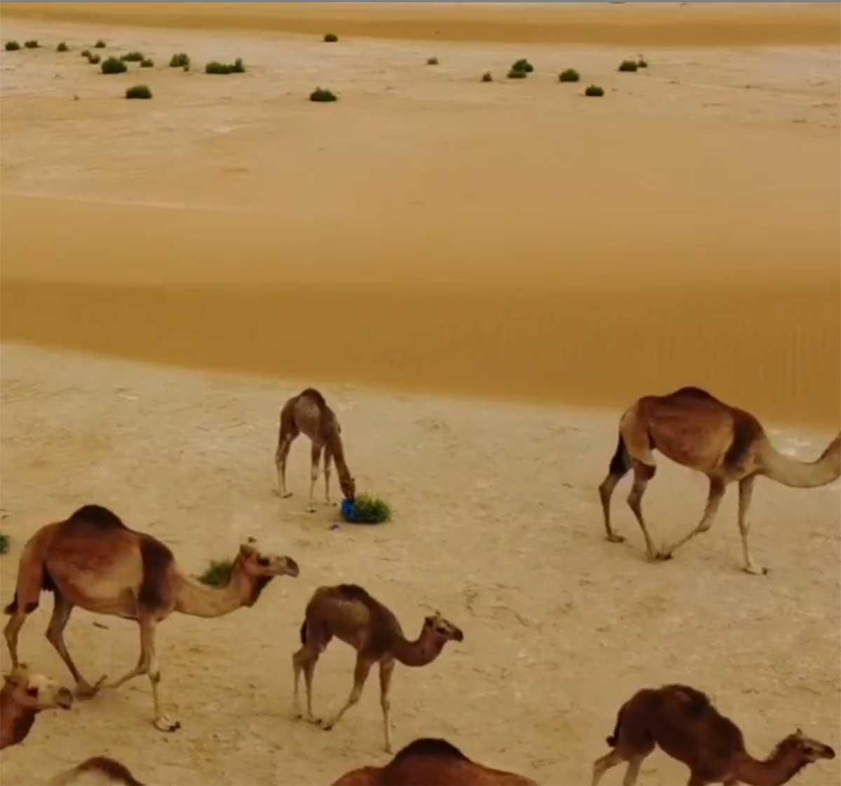 Captan el momento en el que un bebé camello come una bolsa en el desierto