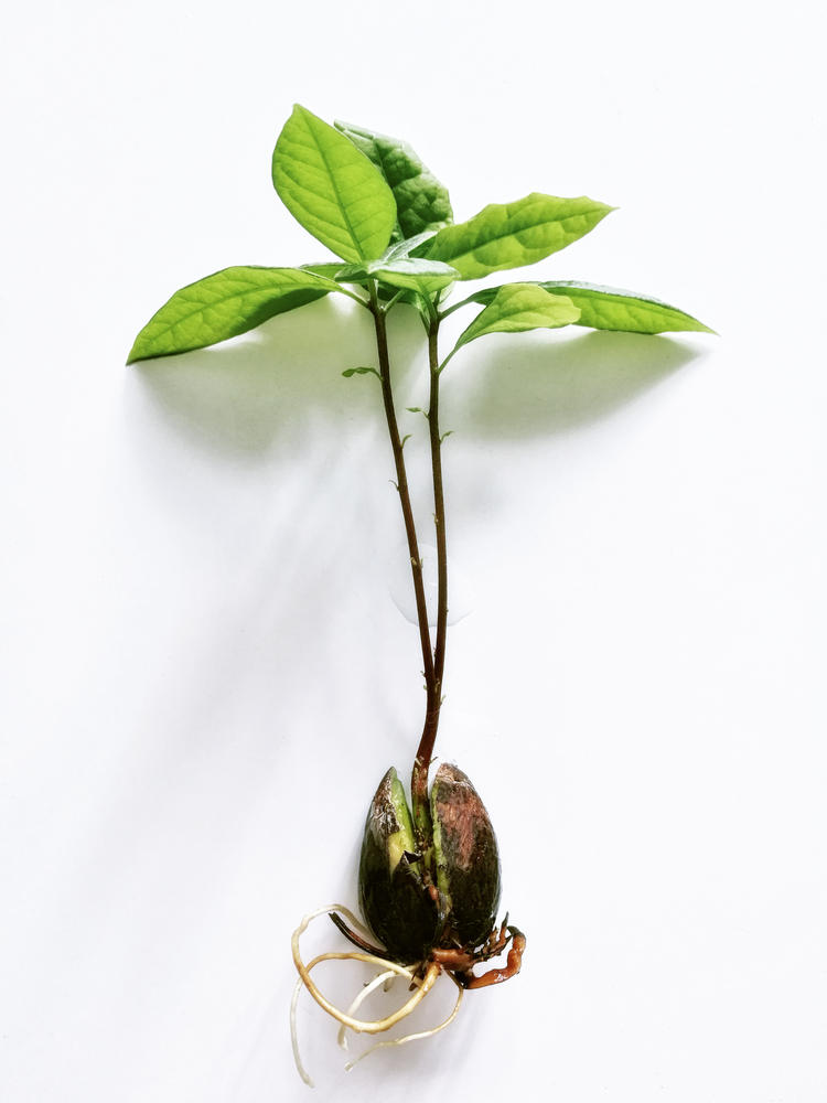 Semilla de aguacate con sus primeras hojas en fondo blanco