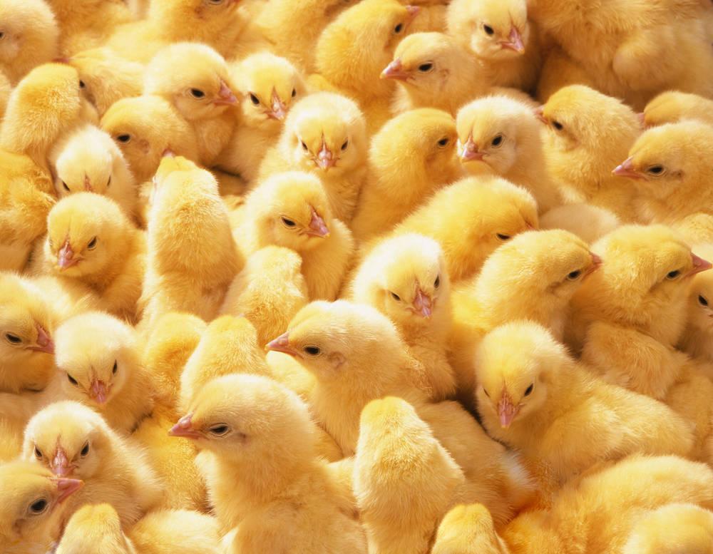 Se prohíbe la trituración de pollitos en Francia