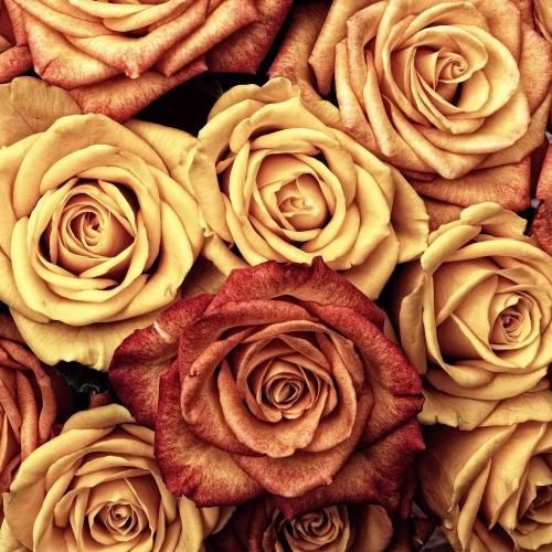 Exprésate con rosas: aprende a elegir el color ideal según la ocasión.