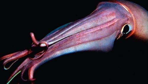 Investigadores logran captar un calamar gigante en las profundidades del Caribe
