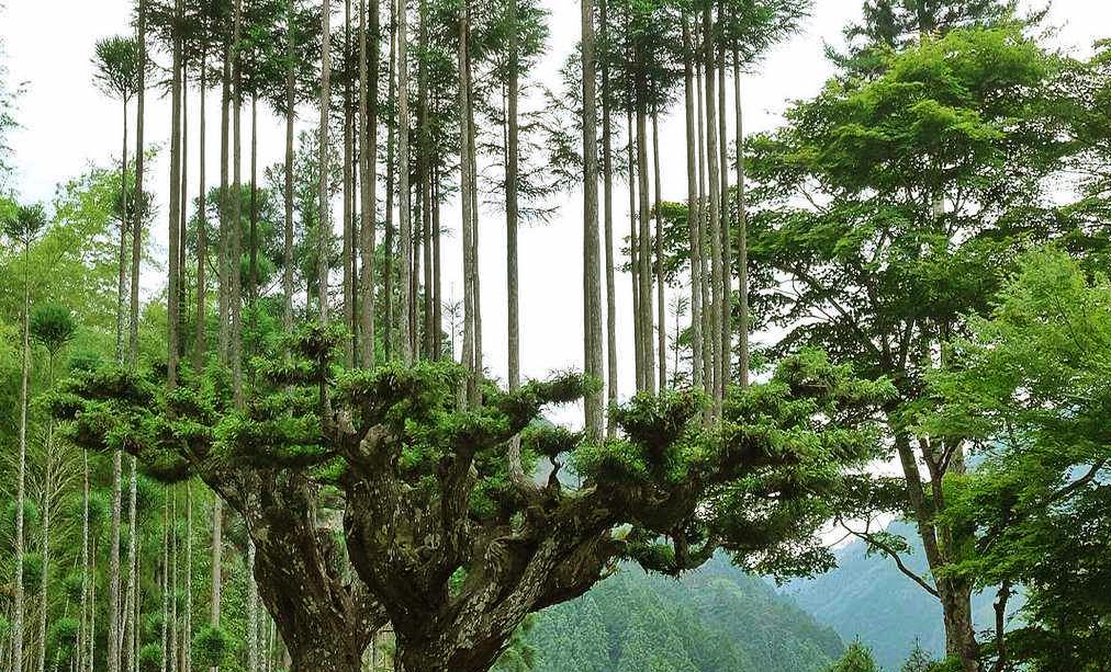Así es como Japón obtiene madera sin talar árboles