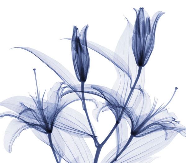 stagazer-lilies_1689417i