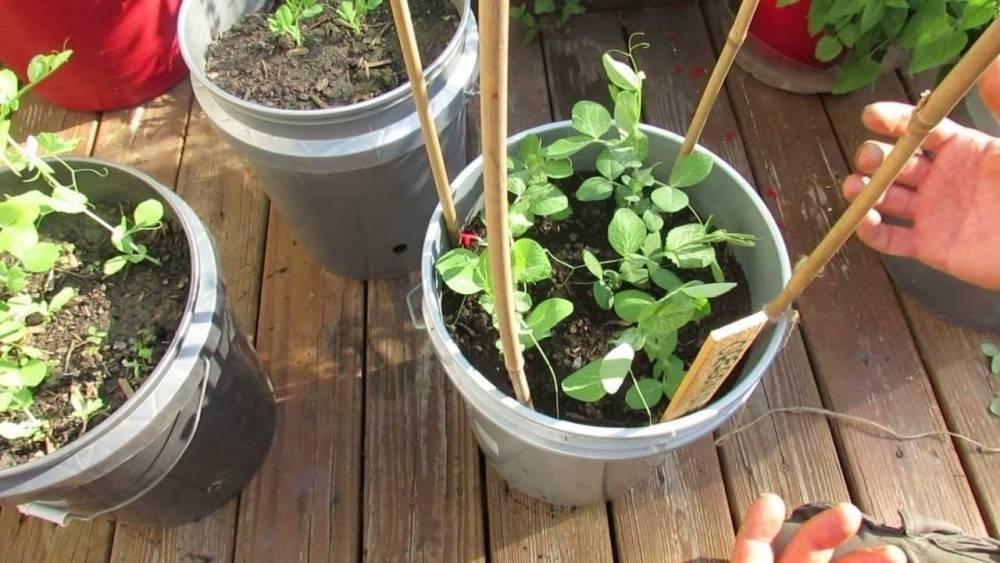 Qué frutas y vegetales puedes cultivar en botes de pintura