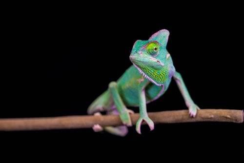 Crean material inspirado en el camaleón que se endurece y cambia de color