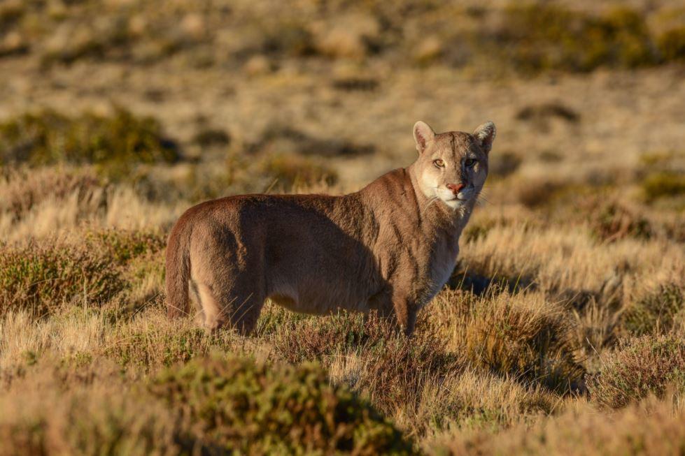 Conoce más sobre el proyecto de recuperación del puma en la Patagonia