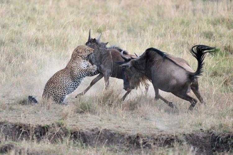 Dos Ñus atacados por chita