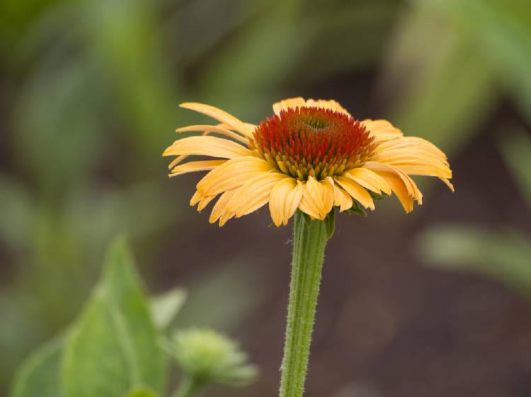 Flor de equinacea