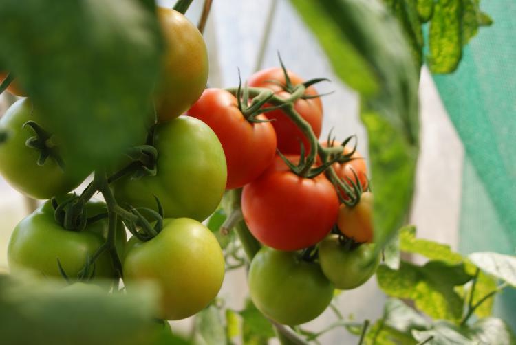 planta de tomates en maceta