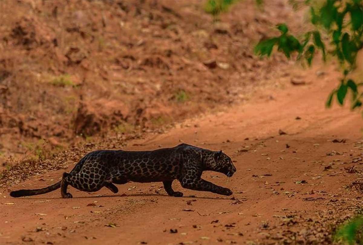 ¡Increíble! Fotografían a un curioso ejemplar de leopardo negro en India