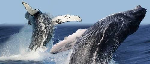 Sea Shepherd renuncia a su campaña contra la caza de ballenas en Japón