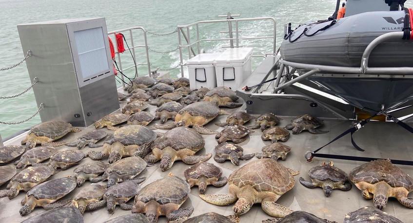 Voluntarios rescataron a miles de tortugas congeladas por el frío en Texas