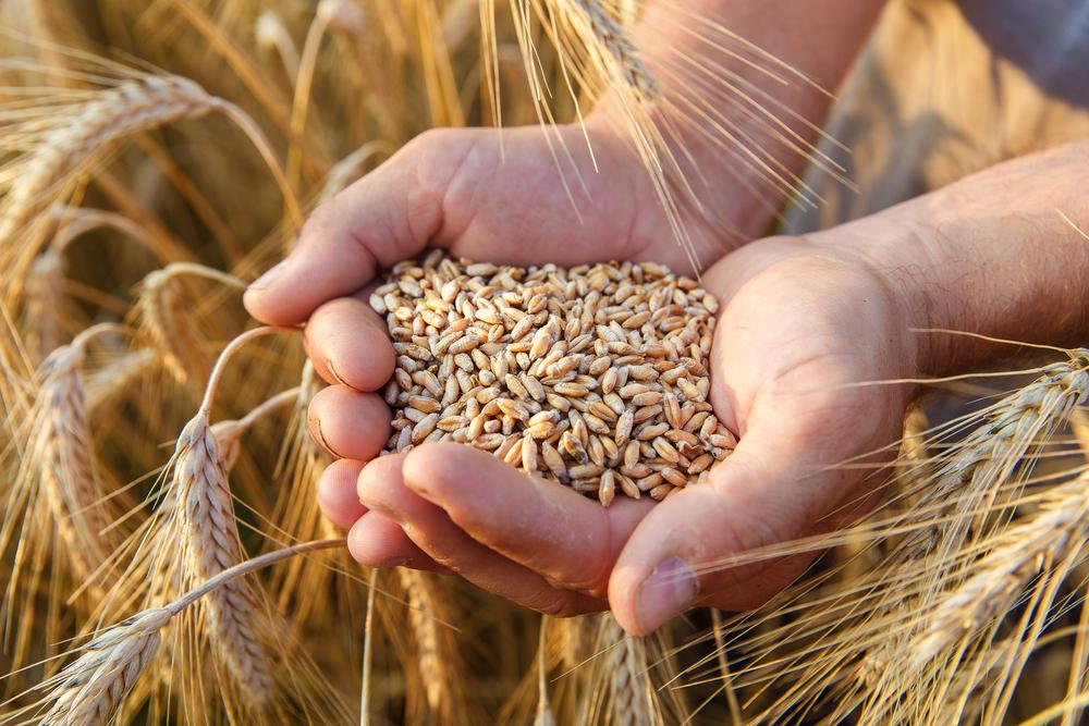 Germen de trigo: el secreto para una buena alimentación