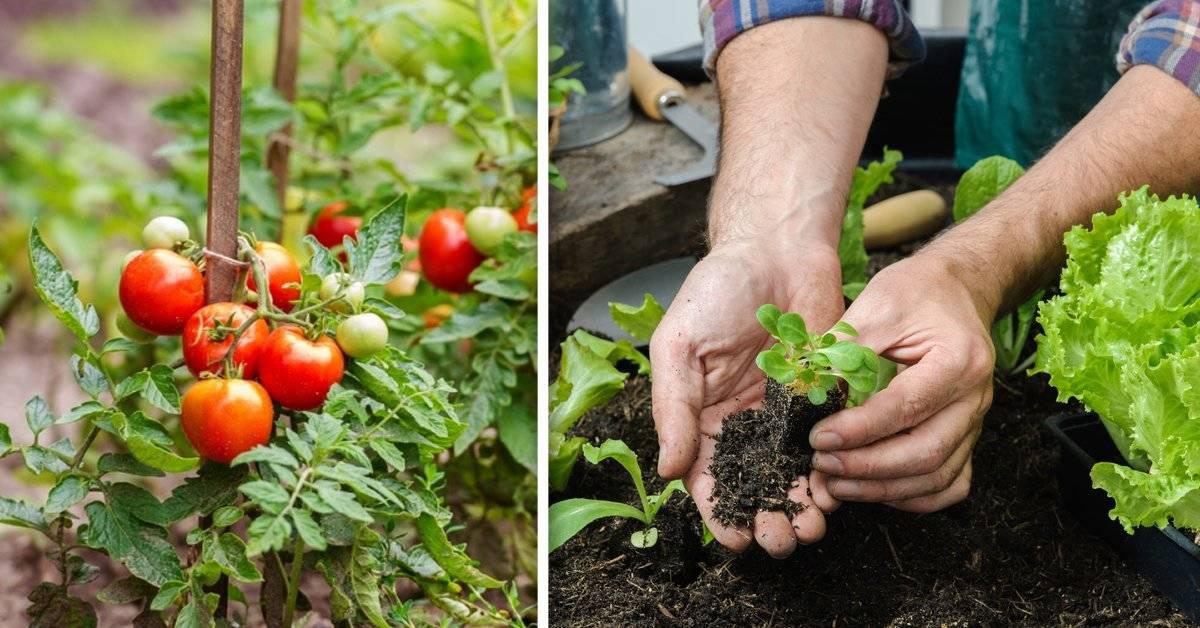 Cómo crecer tomates de forma ilimitada a partir de solamente 4 rodajas