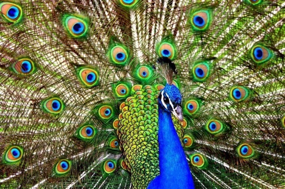 El pavo real tiene abanico policromado que constituye la cola de los machos