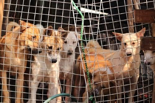Corea del Sur por fin hace ilegal el asesinato de perros para comer su carne
