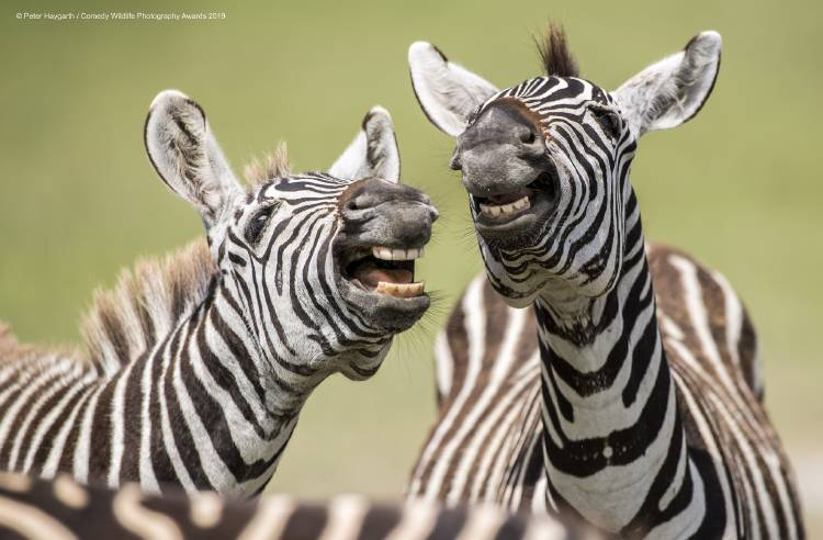 Peter Haygarth Laughing Zebra