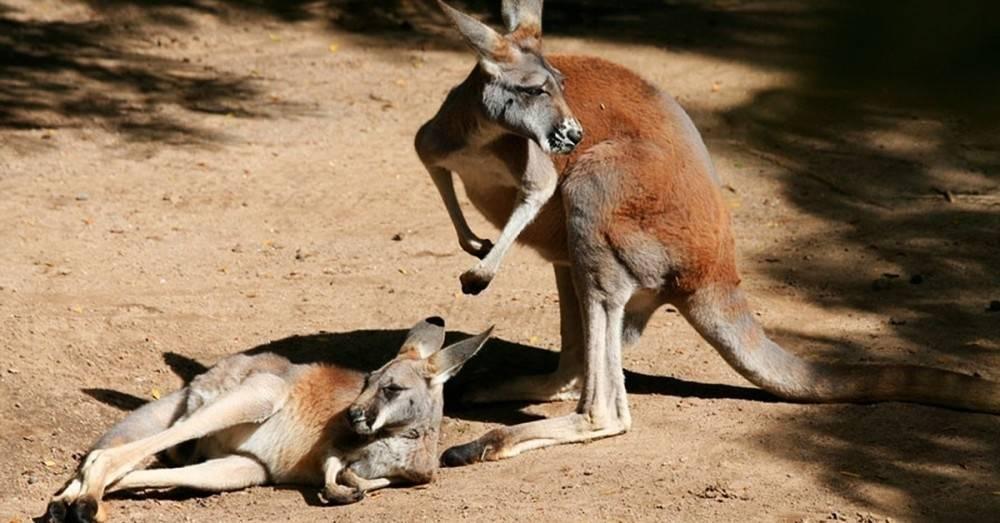 Ellos querían que el canguro saltara, pero como el animal no se movía, le hi..