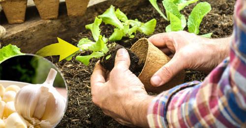 6 usos del ajo en el jardín o huerto urbano