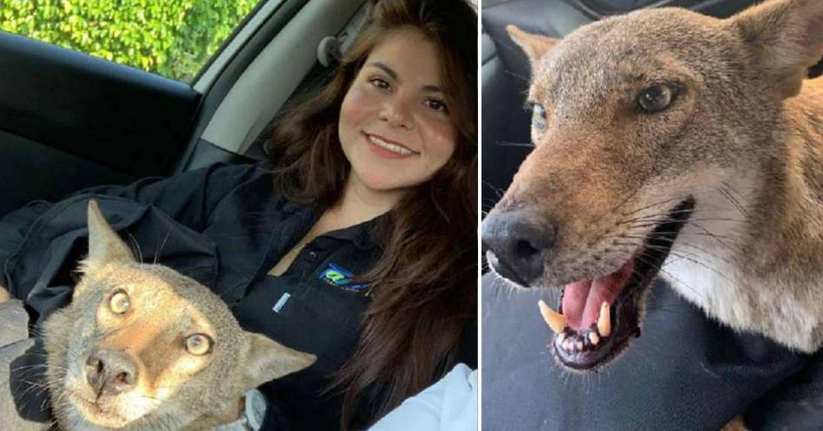 Creyó que rescataba a un perro herido, pero en realidad era un animal salvaje