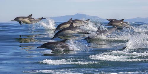 """Una """"estampida"""" de miles de delfines en las costas de California"""