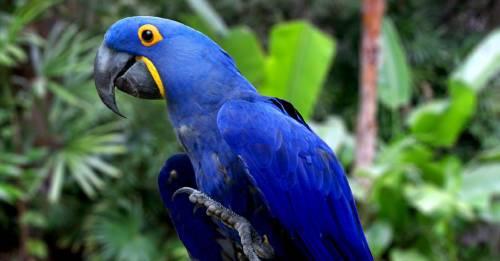 El nacimiento de un guacamayo azul trae esperanzas para la especie