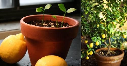 Cómo tener tu propio limonero