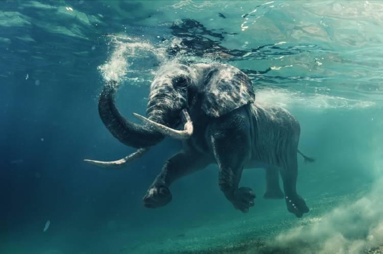 Los elefantes son buenos nadadores