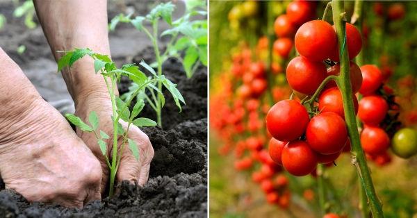 C mo plantar tomates en el huerto - Cuando plantar tomates ...