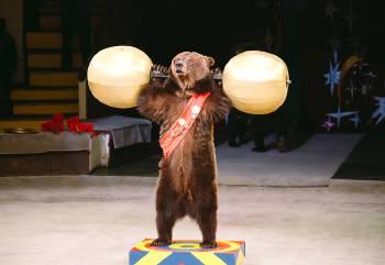 oso en el circo sometido a realizar trucos dentro del espectaculo