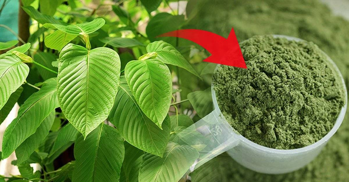 ¿Qué es el kratom, cuáles son sus efectos y por qué se considera una planta peligrosa?