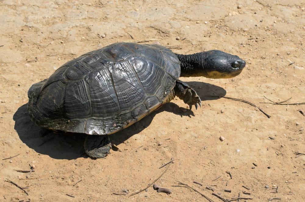 Al rescate de la tortuga carranchina en Colombia