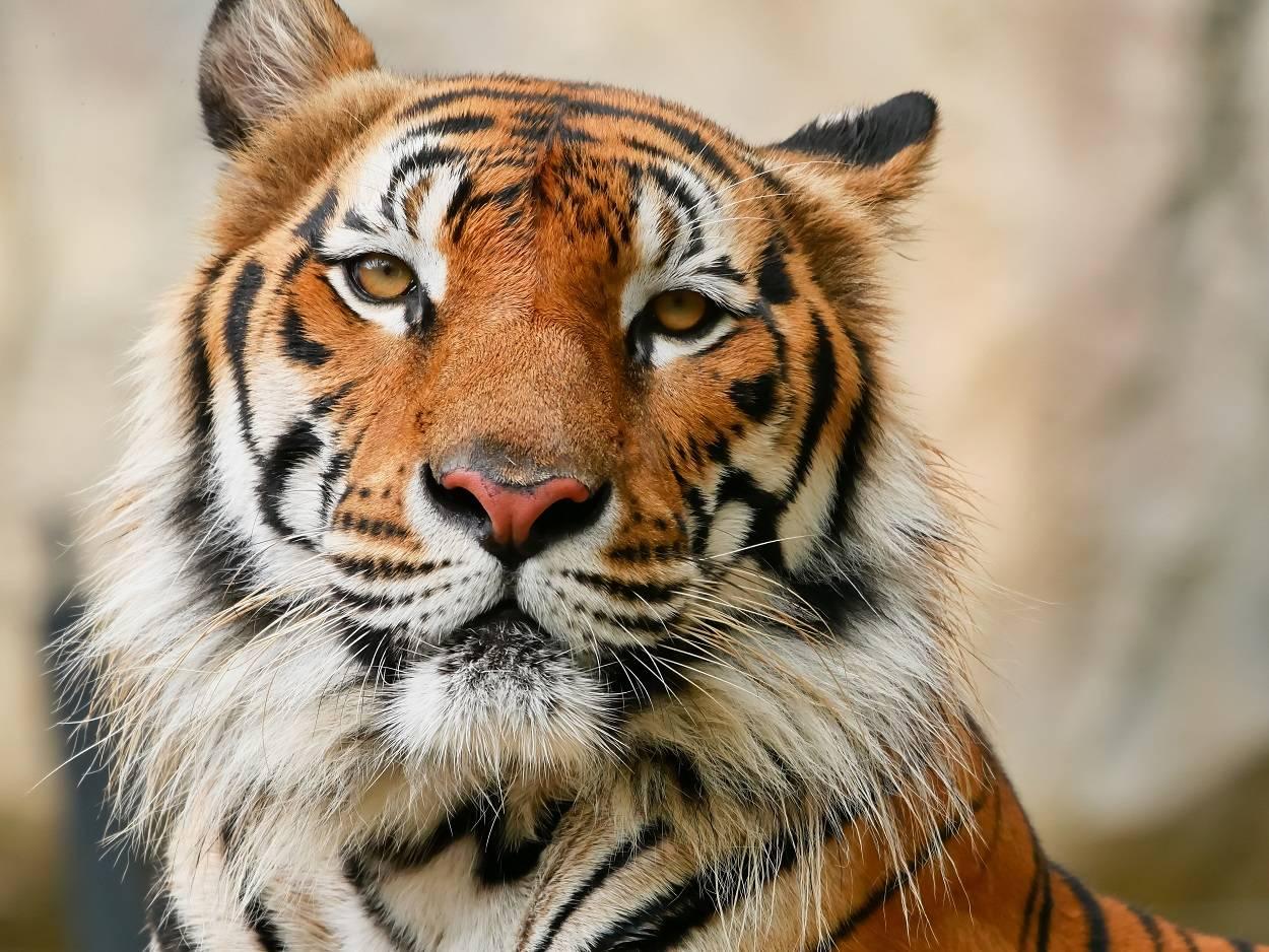 Afirman que quedan 200 ejemplares del tigre de Malasia