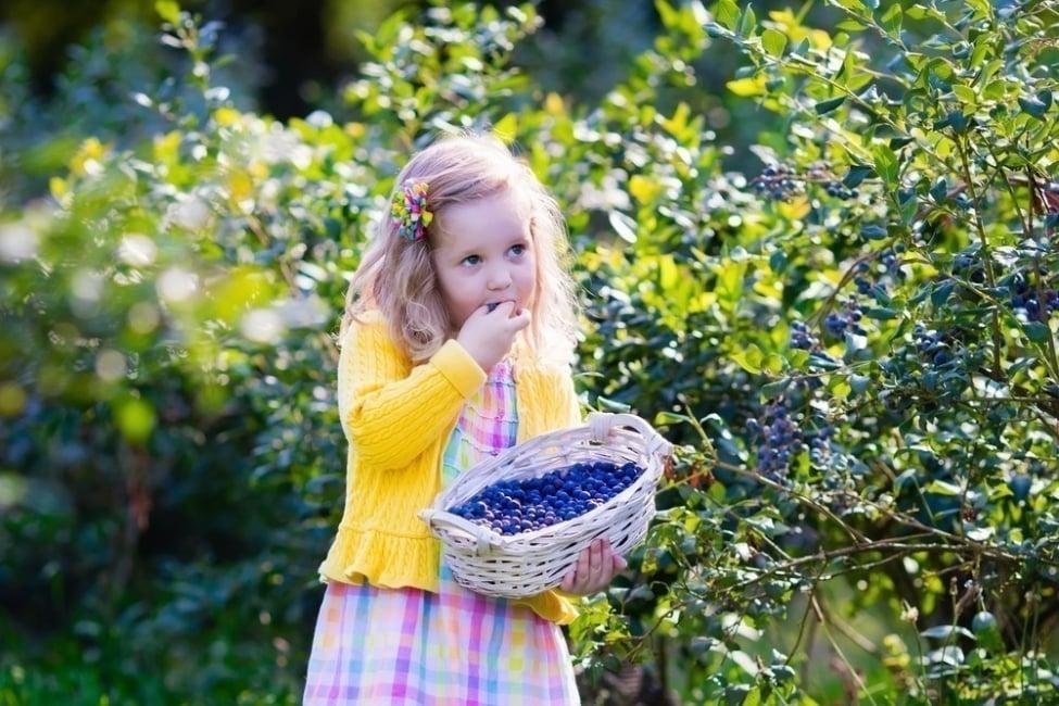 cultivar frutos rojos