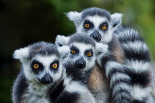 Los lémures están en peligro y frenar la deforestación podría salvarlos