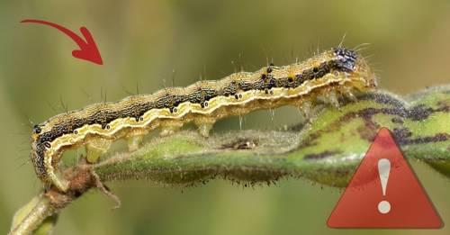 Este pequeño insecto podría generar una plaga en Sudamérica y seguir expand..