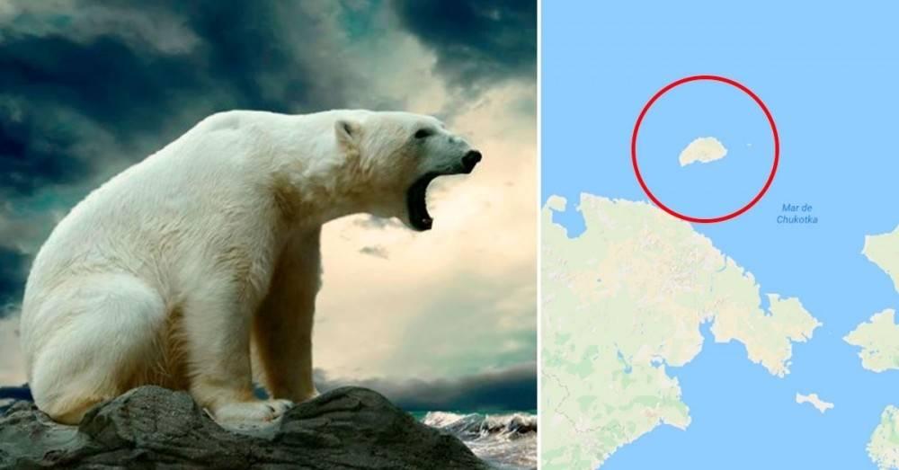 Casi 600 osos polares se acumulan en una isla porque no hay suficiente hielo p..