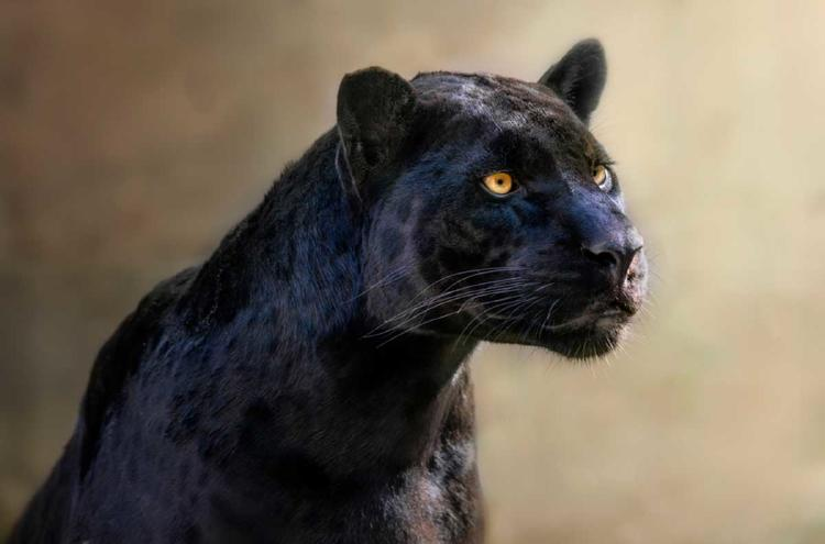 leopardo negro2