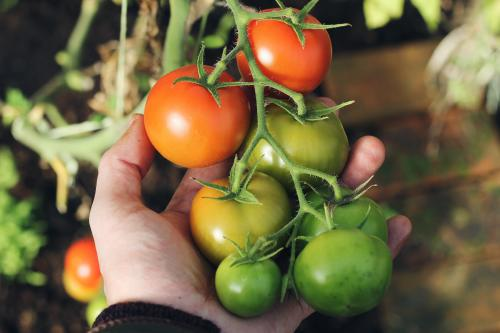 Planta de tomates en maceta: todo lo que tienes que saber para tener éxito en tu