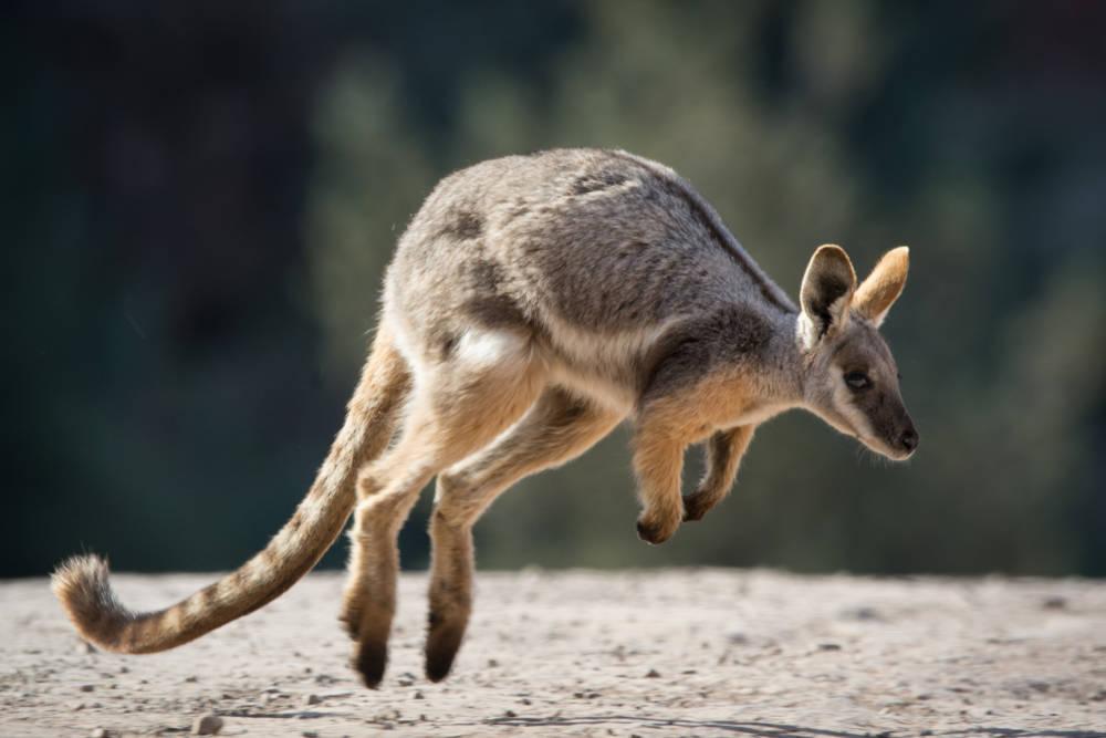 Lanzan desde helicópteros comida a los animales afectados en Australia