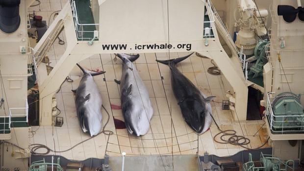 Balleneros japoneses mataron a más de 300 ballenas en la Antártida